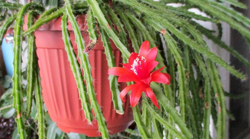 lesnoj-kaktus-foto-opisanie-vyrashhivanie-i-uhod