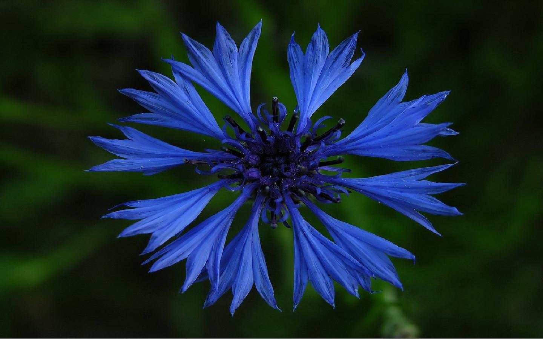 vasilek-sinij-foto-opisanie-primenenii-lechebnye-svojstva-3