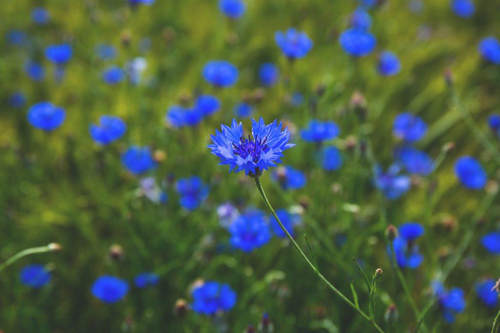 vasilek-sinij-foto-opisanie-primenenii-lechebnye-svojstva-5