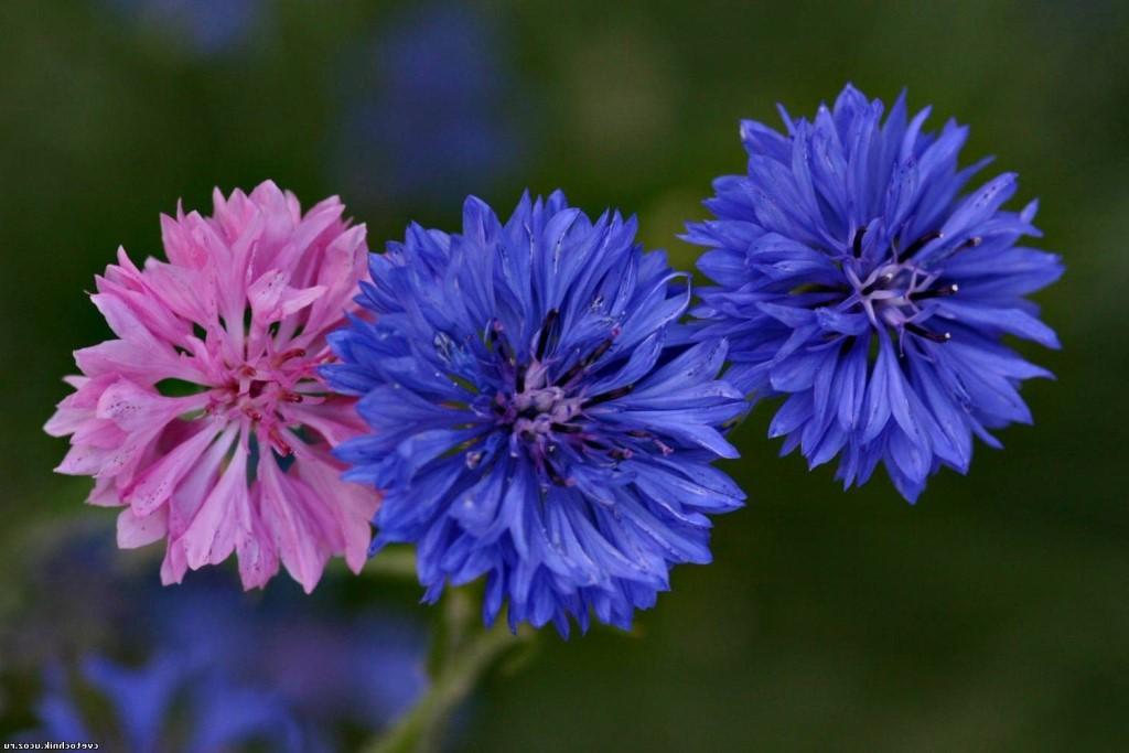 vasilek-sinij-foto-opisanie-primenenii-lechebnye-svojstva-7