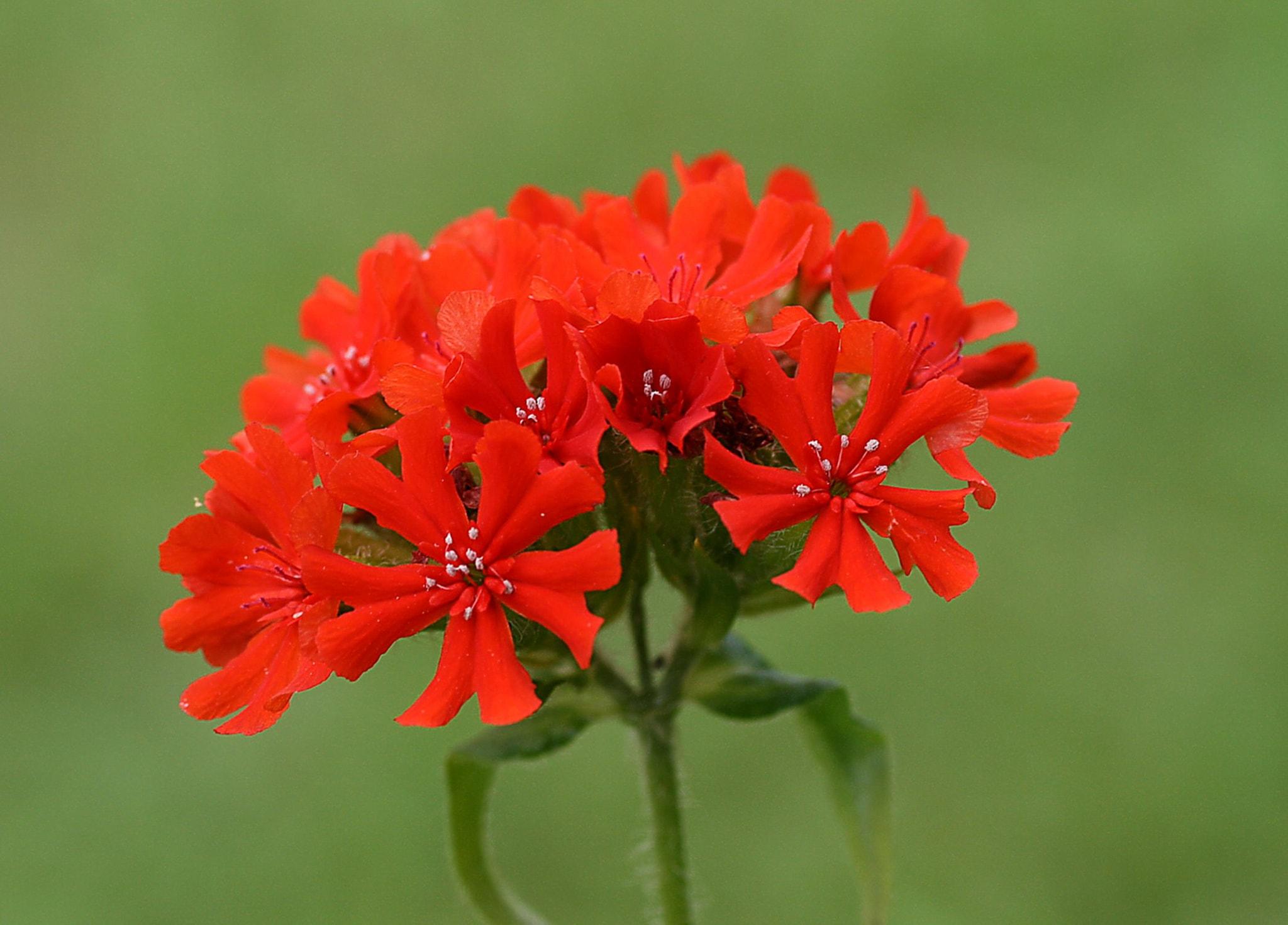 Лихнис: фото, видео, выращивание, посадка и уход за цветком-1