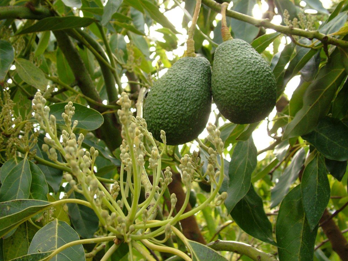 tropicheskie-plody-rastenij-kotorye-my-edim-foto-opisanie-20