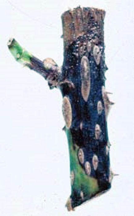infektsionnyj-ozhog-roz-foto-opisanie-lechenie-04