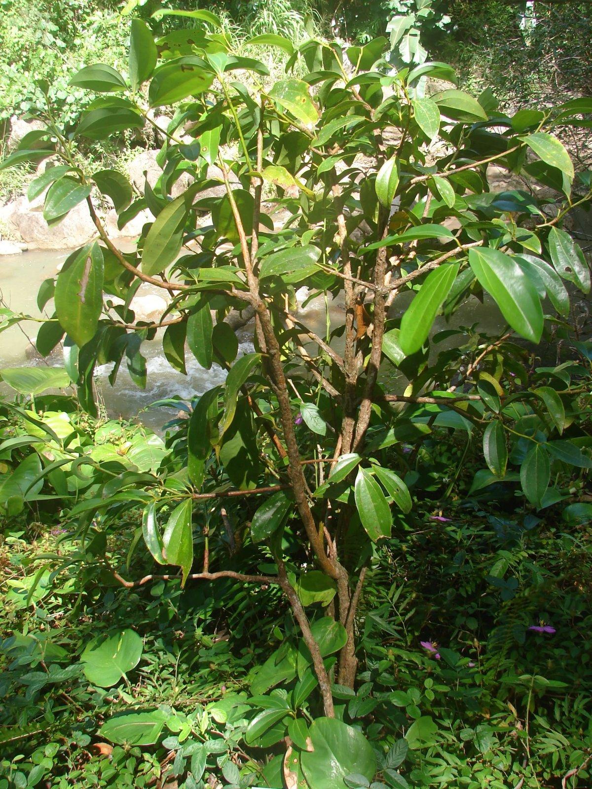 tropicheskie-plody-rastenij-kotorye-my-edim-foto-opisanie-33