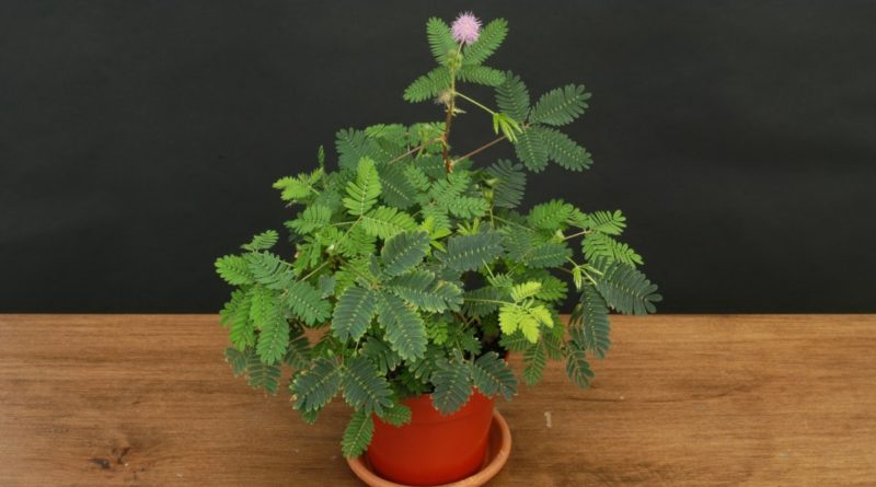 mimoza-tsvetok-foto-vyrashhivanie-i-uhod-v-domashnih-usloviyah
