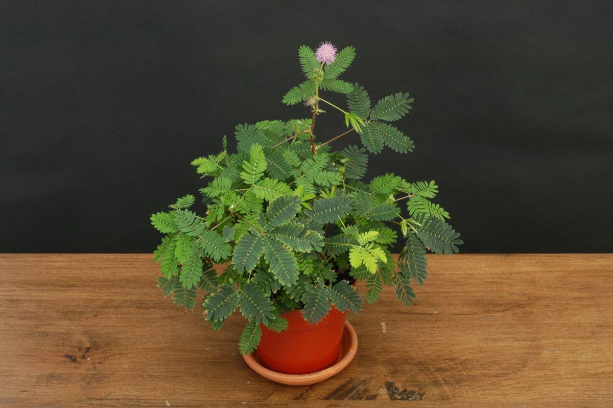 mimoza-tsvetok-foto-vyrashhivanie-i-uhod-v-domashnih-usloviyah-6