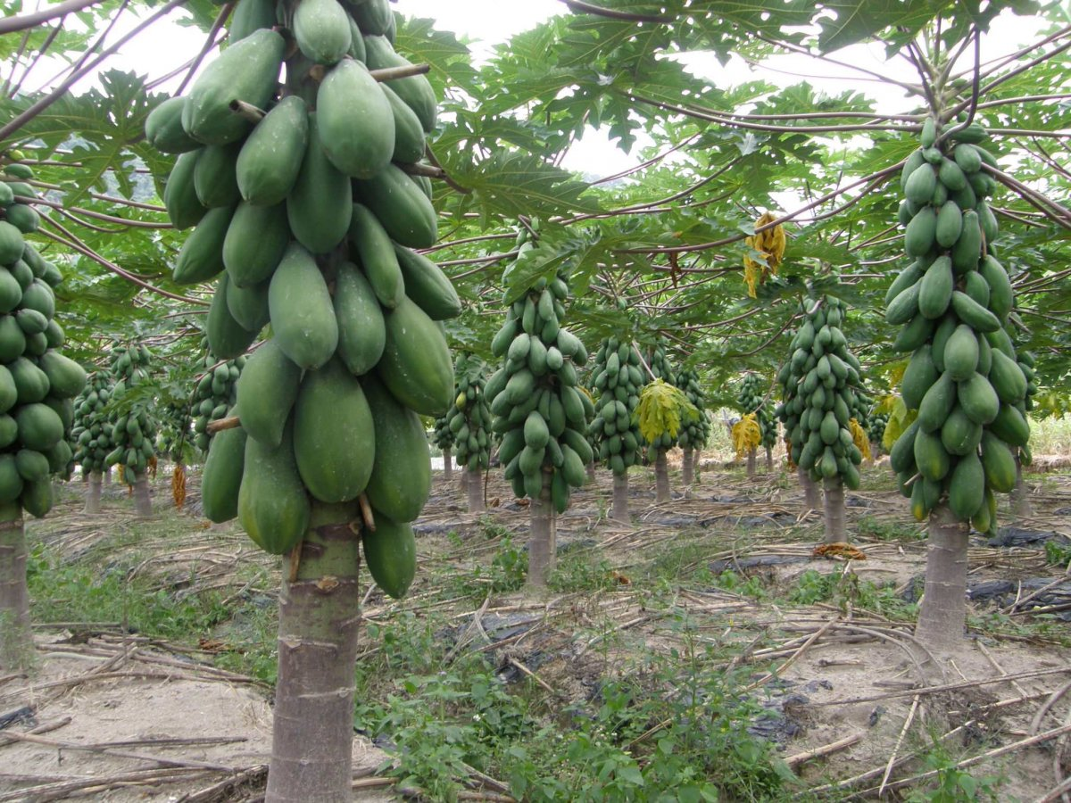 tropicheskie-plody-rastenij-kotorye-my-edim-foto-opisanie-7
