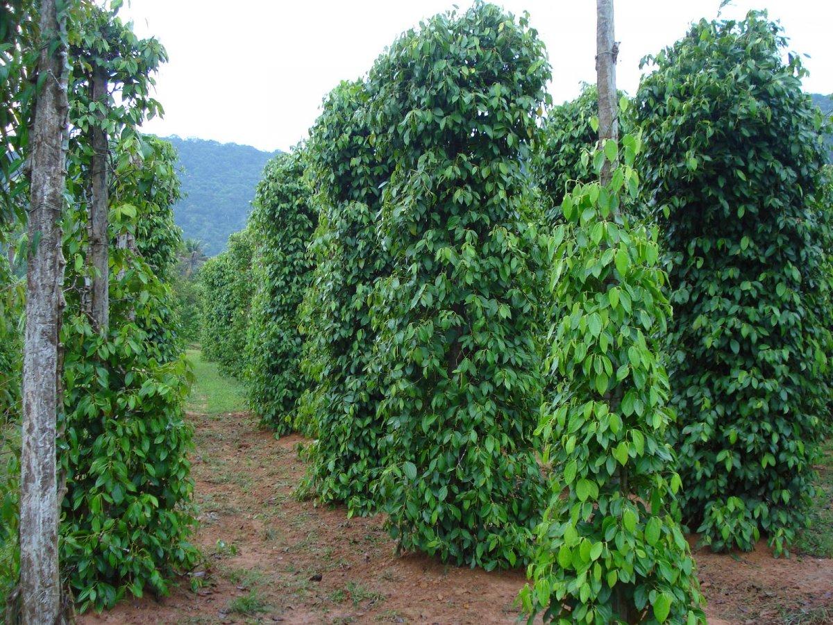 tropicheskie-plody-rastenij-kotorye-my-edim-foto-opisanie-22