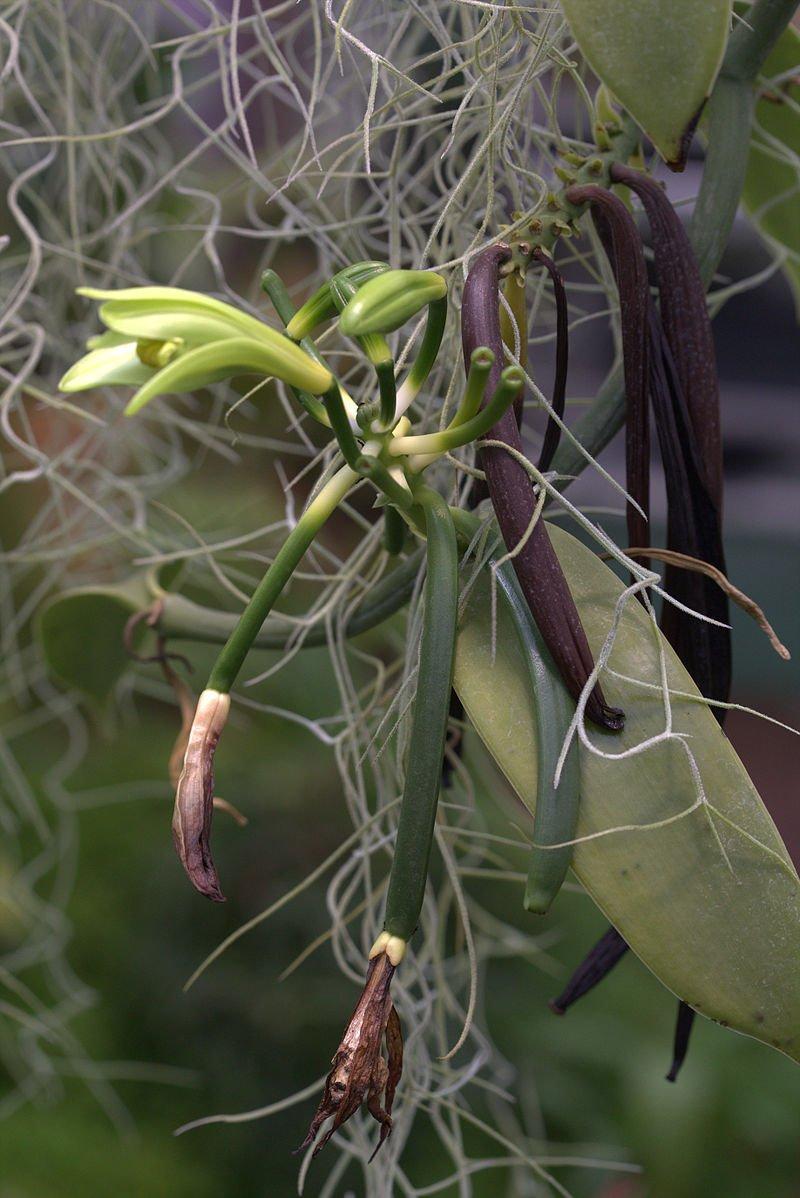 tropicheskie-plody-rastenij-kotorye-my-edim-foto-opisanie-27