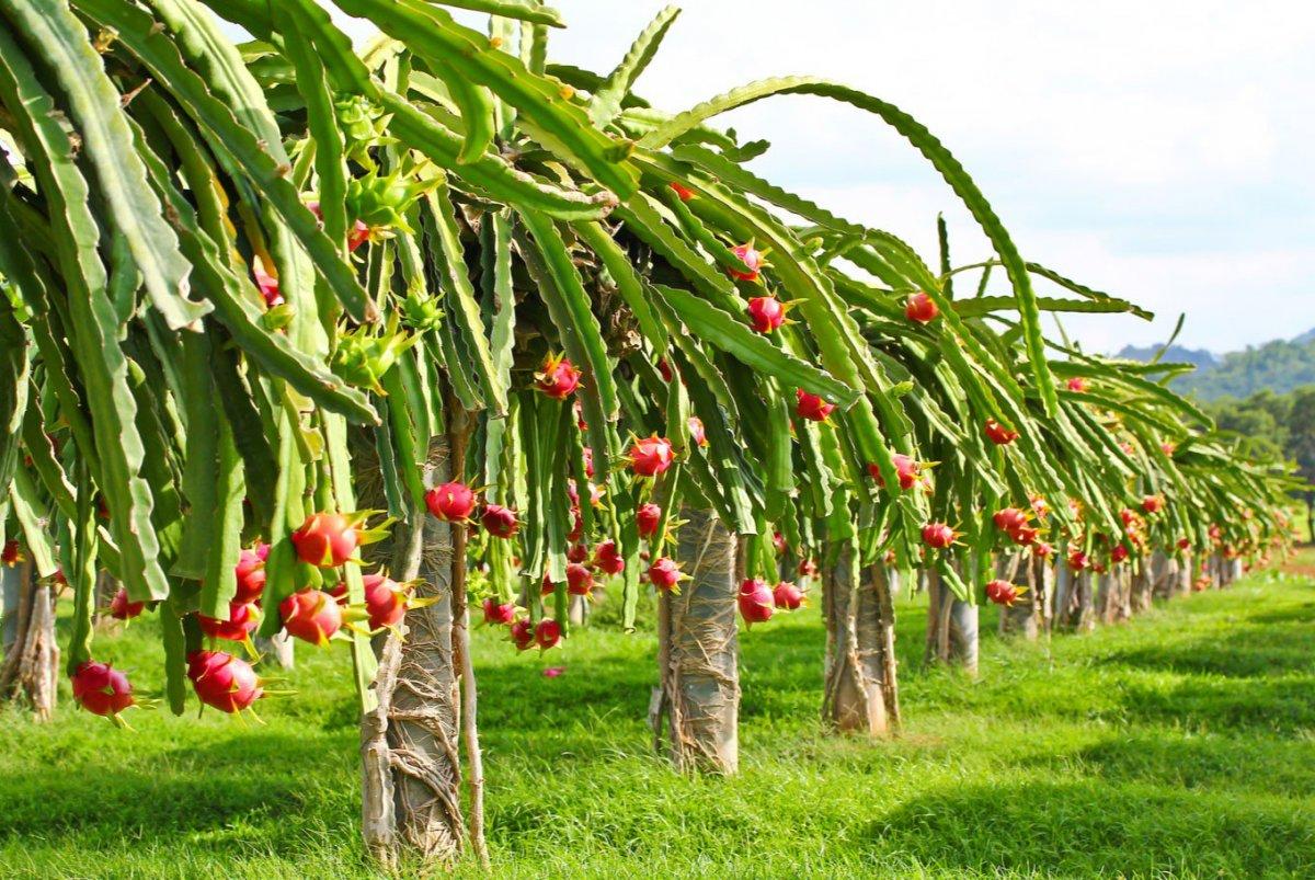 tropicheskie-plody-rastenij-kotorye-my-edim-foto-opisanie-12