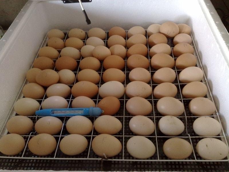inkubatsiya-kurinyh-yaits-instruktsiya-po-ukladke-yaits-v-inkubator-1