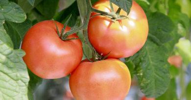 sorta-pomidor-dlya-teplits-foto-video-opisanie