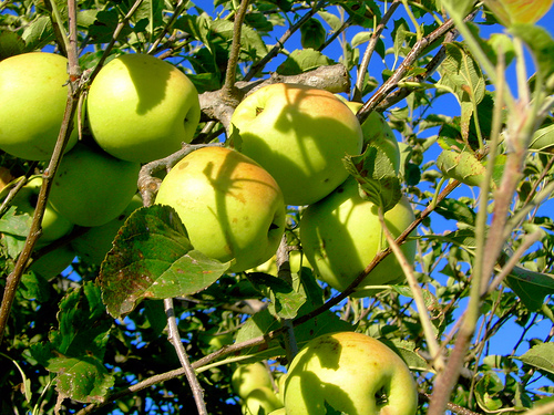 яблоня из семечка