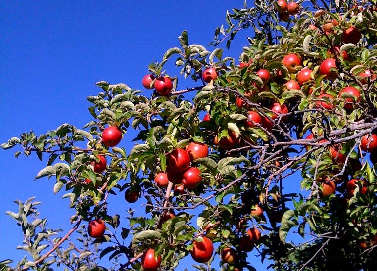 о выращивании яблони на даче