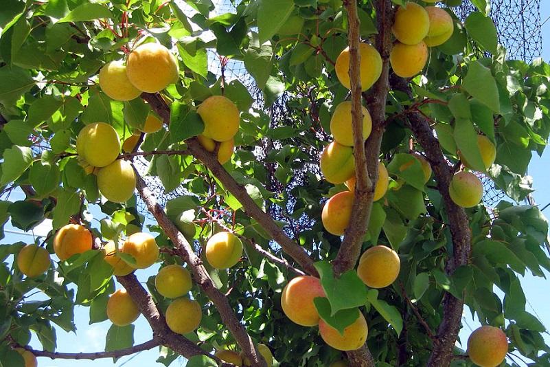 прививание абрикоса на сливу,