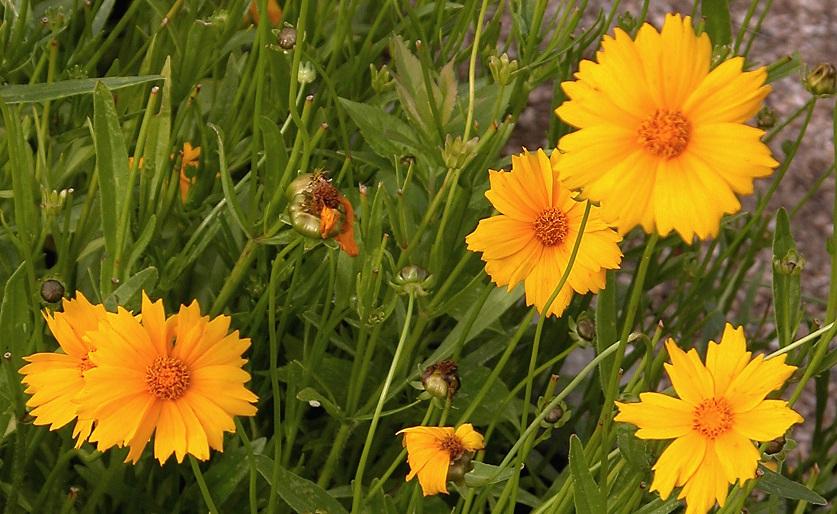 цветок кареглазка