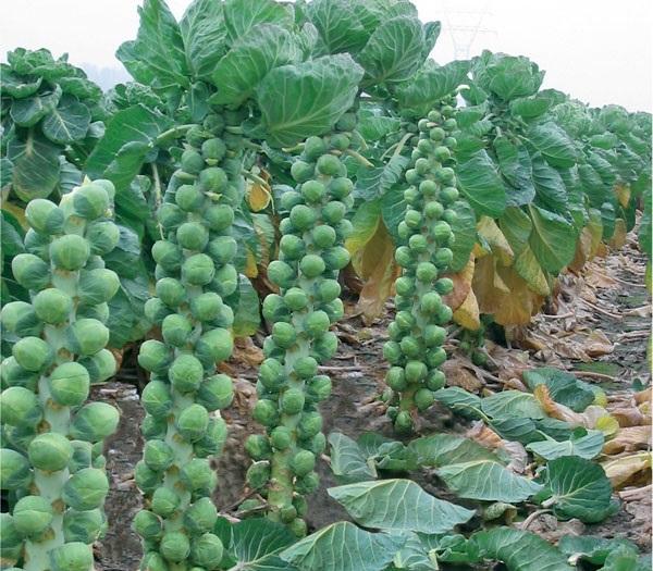 Чтобы вырастить брюссельскую капусту на даче
