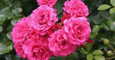 Штамбовая роза «Роди», выращивание на дачном участке